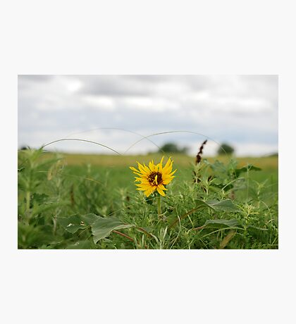 Lone Sunflower in Pasture Photographic Print