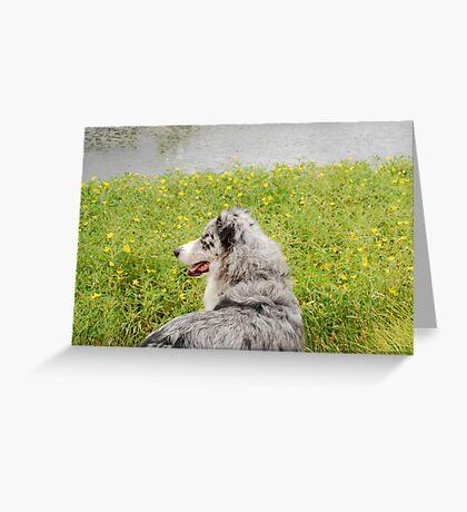 Australian Shepherd Gazes at Pond Greeting Card