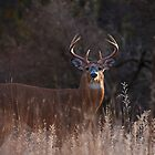 White-tailed Buck in the autumn rut by Jim Cumming