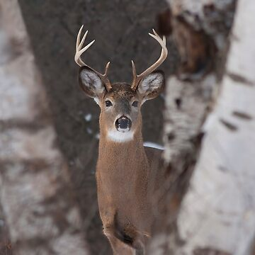 White-tailed Buck by darby8