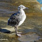 Ring-billed Gull Chick by Bunny Clarke
