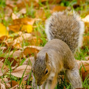 Cute squirrel hunting for food in autumn by debbieannpowell