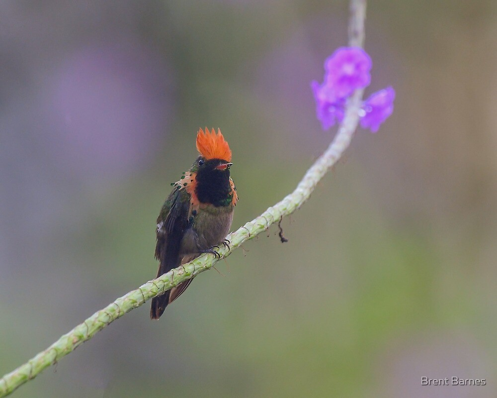 A Male Tufted Coquette Hummingbird in Trinidad by Brent Barnes