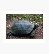 Neugierige riesige Galapagos-Schildkröte Kunstdruck