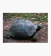 Curious Giant Galapagos Tortoise Photographic Print