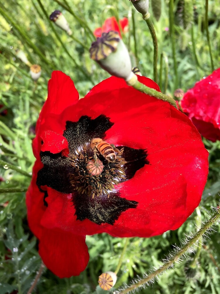 Poppy and Bee from A Gardener's Notebook by douglasewelch