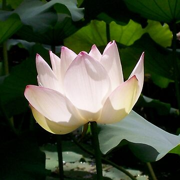 Lotus Flower by dymock