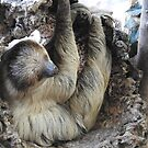 Linne's Two-Toed Sloth by Martina Nicolls