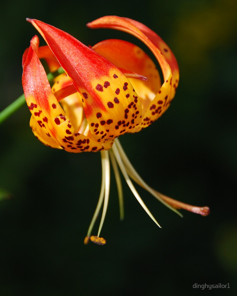 tiger lily  by dinghysailor1