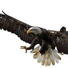Bald Eagle by Shirasaya