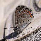 Karner Blue Butterfly Closed by jenndes