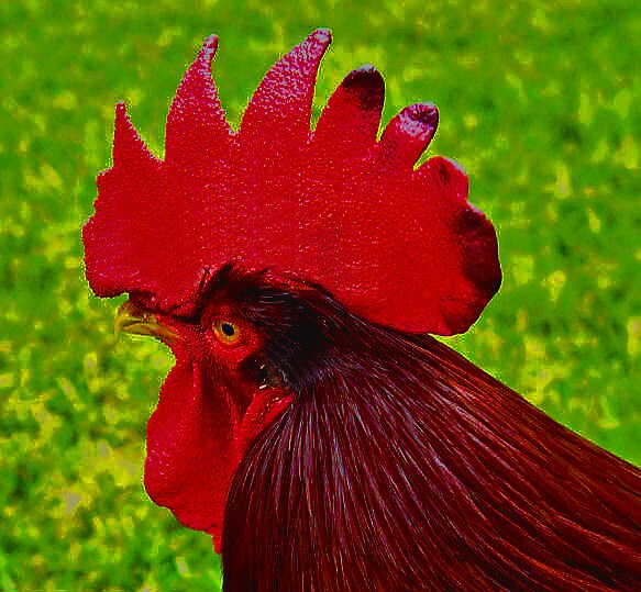 Rhode Island Red by Chet  King