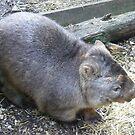 Aussie Marsupial by David Smith