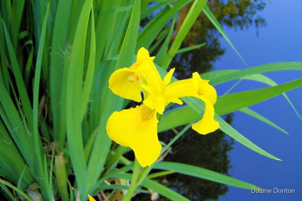 Yellow Iris by ©Dawne M. Dunton