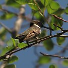 Black Chinned Hummingbird Male by CarrieAnn