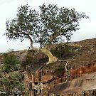 THE ROCK SPLITTER – Ficus abutilifolia by Magriet Meintjes