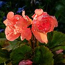 Salmon Pink Begonias by M G  Pettett