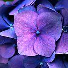 Hydrangea by Wayne Gerard Trotman