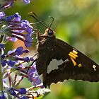 Silver-spotted Skipper by Otto Danby II