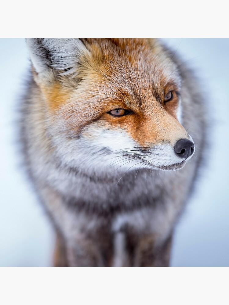 «Fox» par patricemestari