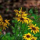 Black Eyed Susans by TJ Baccari Photography