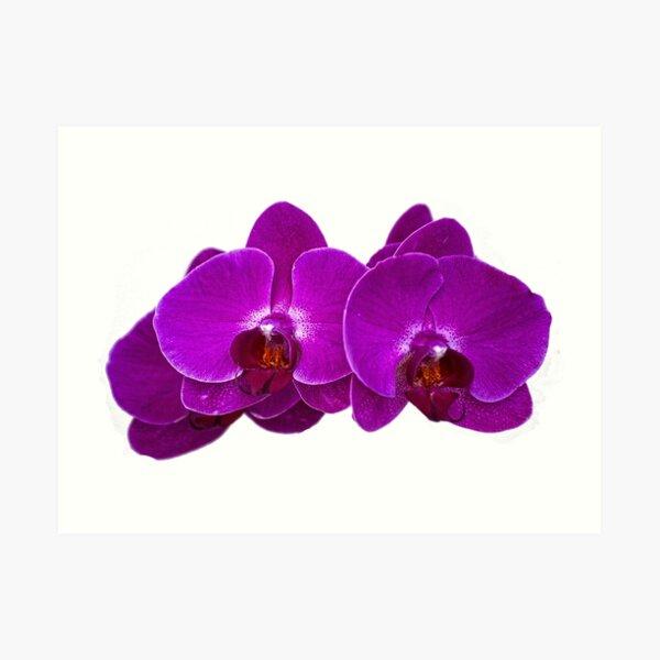 Fuchsia Phalaenopsis Art Print