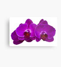 Fuchsia Phalaenopsis Metal Print