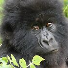 Mountain Gorilla von ApeArt