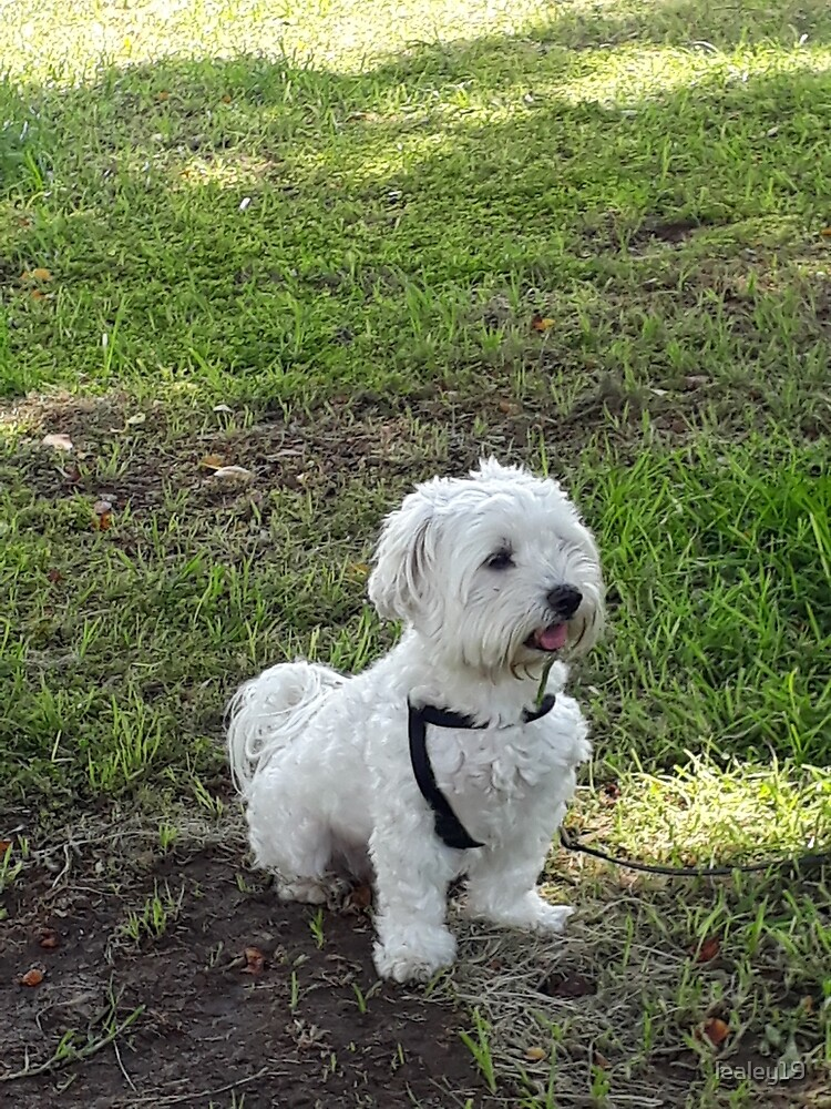 little white malteese on the green grass, happy puppy by lealey19