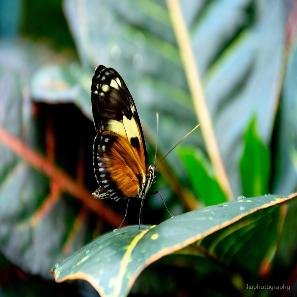 Ismenius Tiger Butterfly-2 by jlwphotography