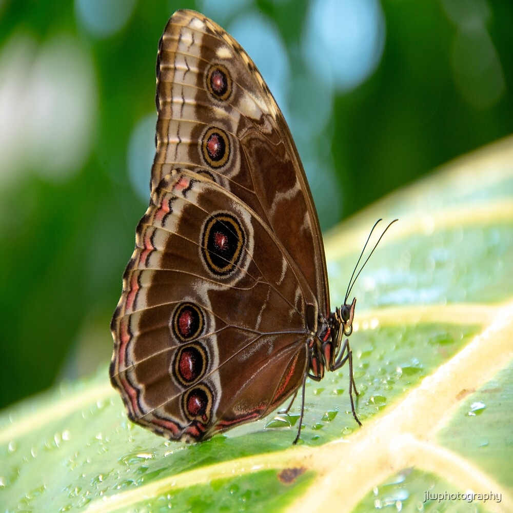 Owl Butterfly by jlwphotography