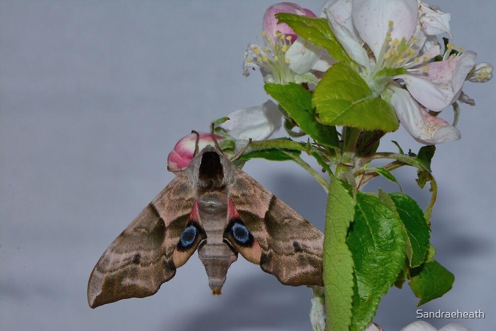 Eyed hawk moth ( Smerinth) on apple blossom  by Sandraeheath