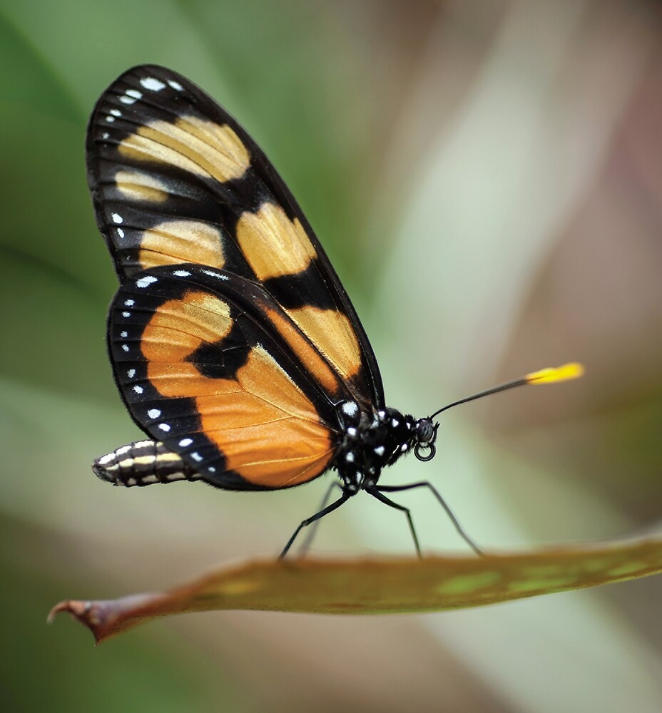 BUTTERFLY 14 by magnus51