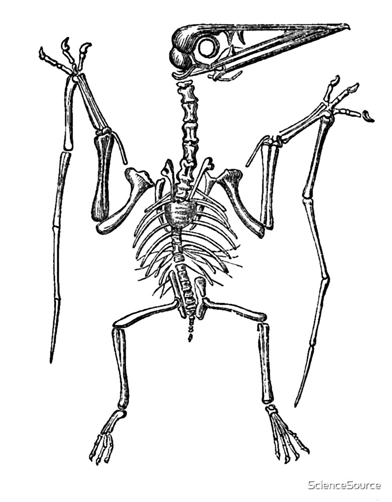 Pterodactylus by ScienceSource