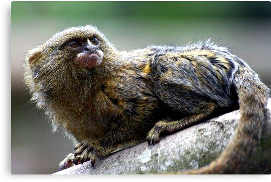 Pygmy Marmoset by Wayne Gerard Trotman