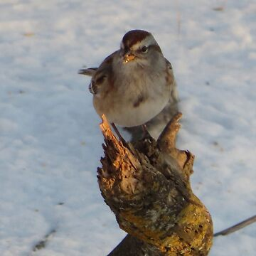 Sparrow by Margarite75