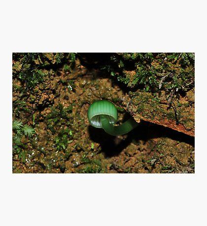 Hygrocybe graminicolor  Photographic Print