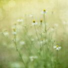 Camomille Summer Whispers by Priska Wettstein