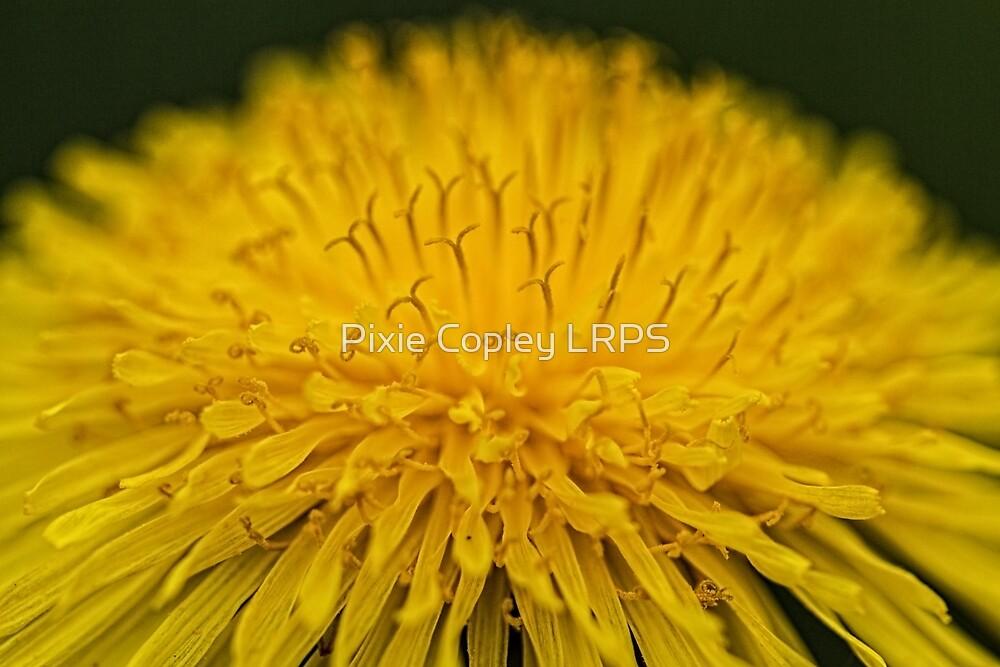 Macro Dandelion Flower by Pixie Copley LRPS