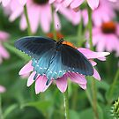 Pipevine swallowtail by Alice Kahn