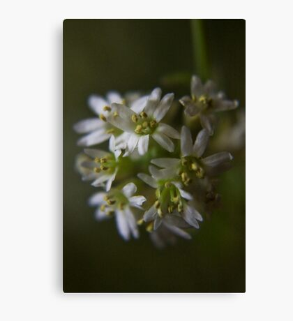 White and White (from wild flowers collection) Canvas Print