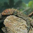 Caiman Lizard by Scott Mitchell