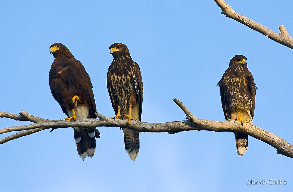 Harris Hawks by Marvin Collins