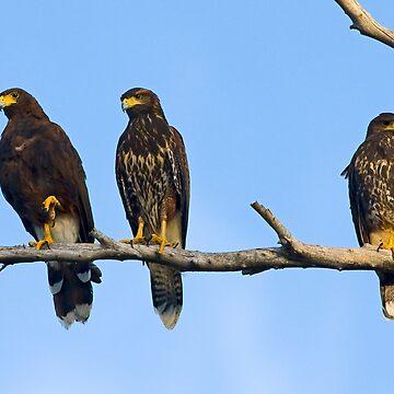 Harris Hawks by mcollins