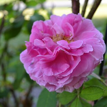 Pink Rose by Gold-Coin