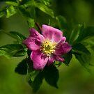 « Rose » par MrDrien