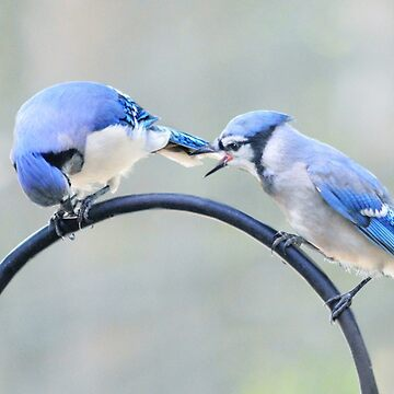 Two bluejays  by LaurieMinor