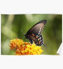 Black Tiger Swallowtail Poster