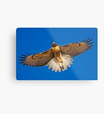 0627092 Red Tailed Hawk Metal Print