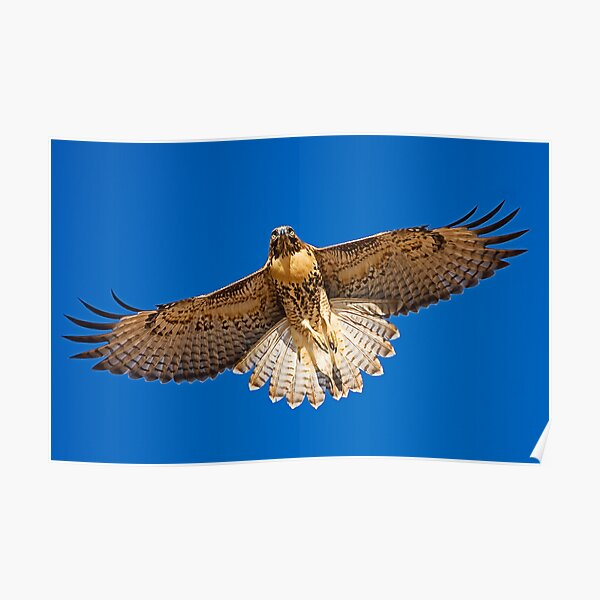 0627092 Red Tailed Hawk Poster